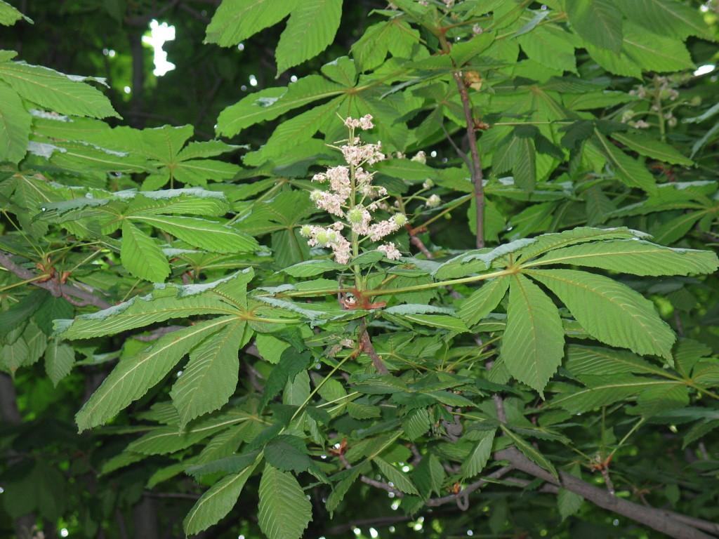Aesculum hippocastanum