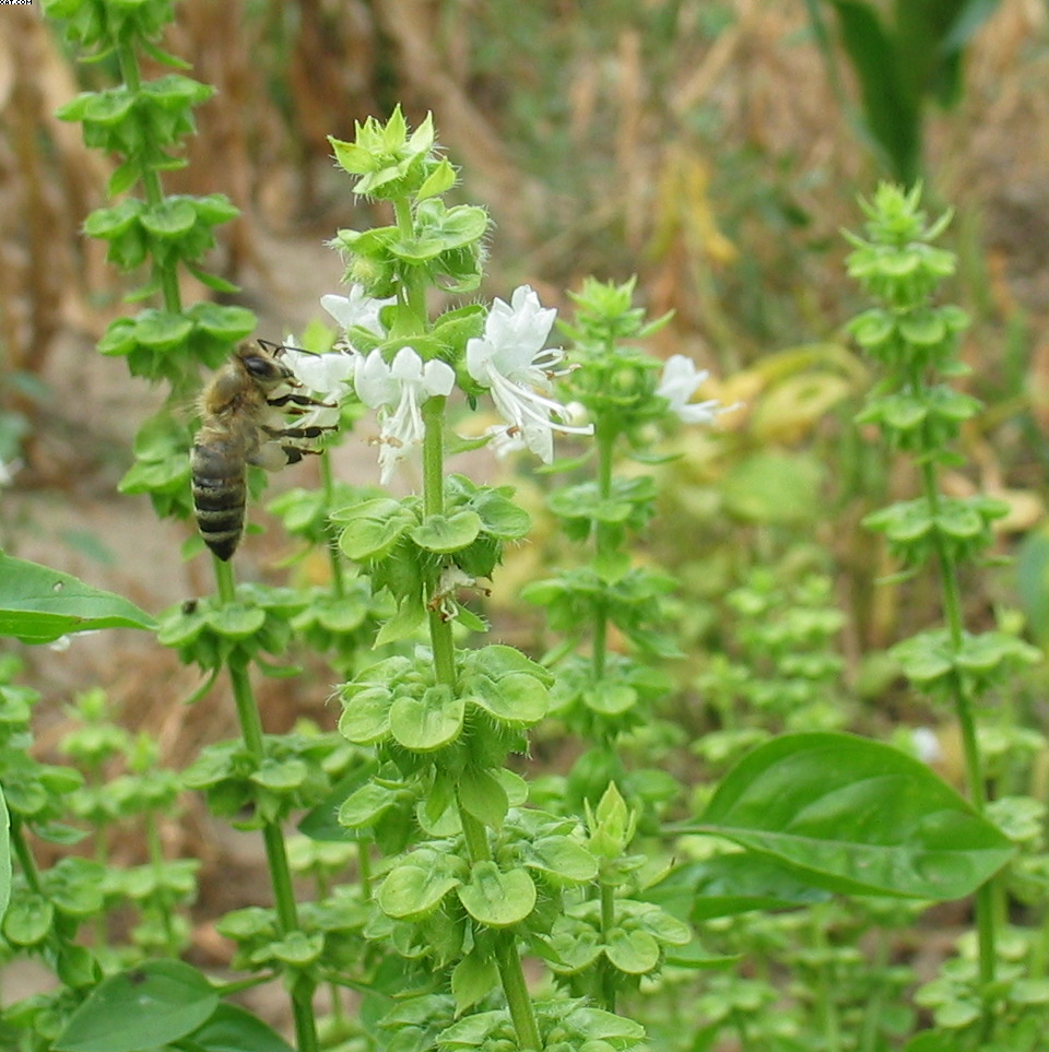 Bee on basil (cropped)