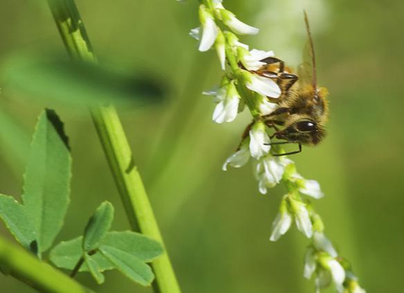 Bee on white melilotus
