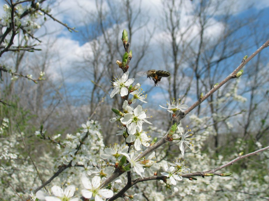 bee with pollen on Prunus spinosa