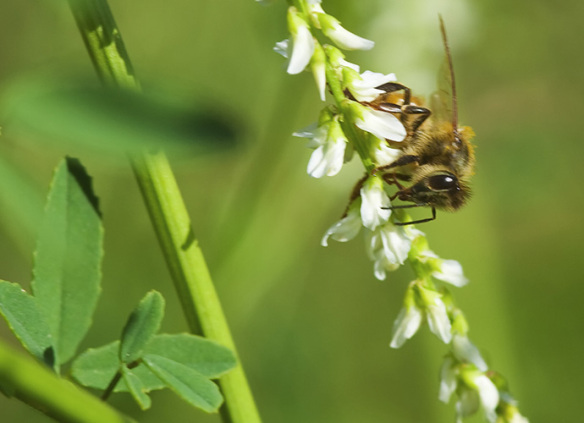 Bee on white melilotus