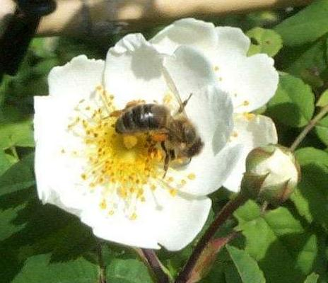 Rosa canina with bee (close-up)