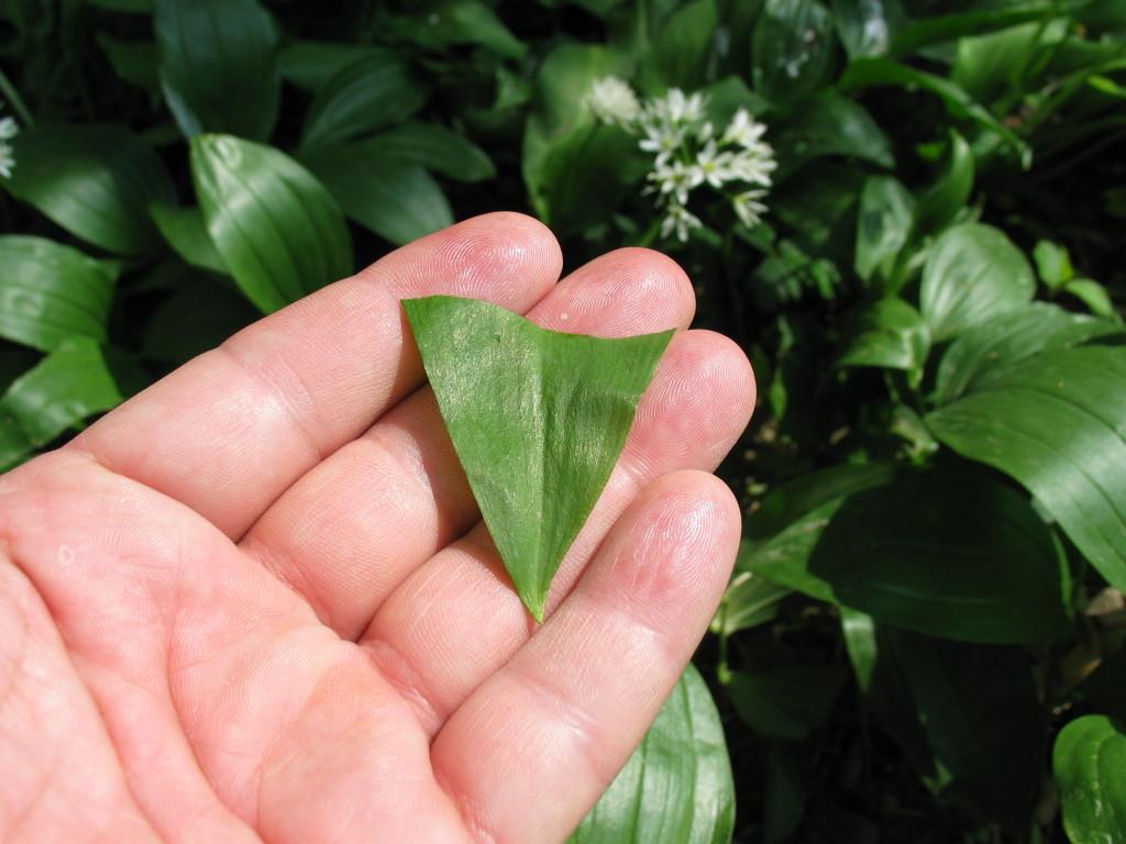 allium_ursinum_leaves