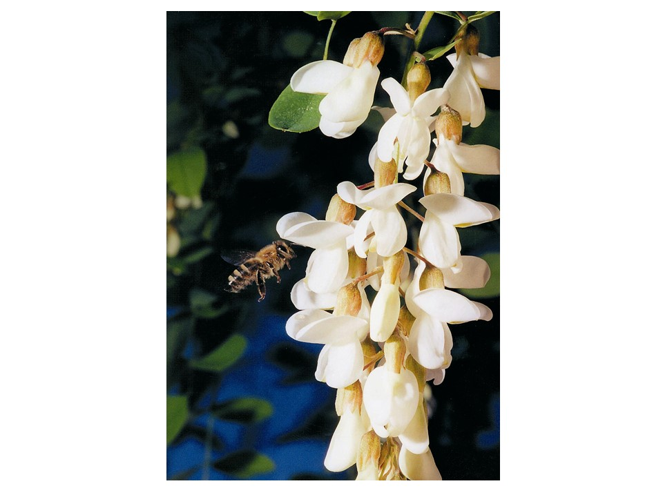 bee near Robinia pseudacacia flower