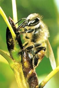 abeja en brote de álamo (4) (mejor)